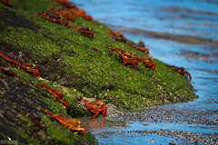 Galapagos Crabs (pbmultimedia5) Tags: crab galapagos national park fernandina island ecuador wildlife grapsus pbmultimedia sea shore ocean orange sally lightfoot