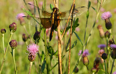"""-=- Resting Dragon -=- (Darrell Colby """" You Call The Shots """") Tags: londonontario ontario canada dragonfly rest resting wings wildflowers darrellcolby"""