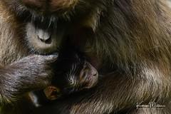 Gelada Baboon (Karen Miller Photography) Tags: edinburghzoo zoo captivity captive edinburgh geladobaboon baboon baby animal nikon rzss scotland enclosures karenmillerphotography