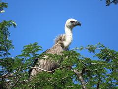 Witrugaasvoël, White-backed Vulture (Bruwer Burger.) Tags: witrugaasvoël whitebackedvulture naturethroughthelens coth5