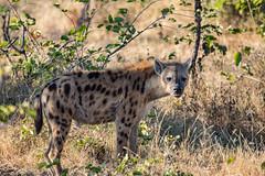 Hyena (Kieran Commins) Tags: hyena wildlife animal mammal luangwa zambia ngo