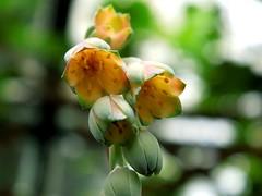Pachyphytum compactum Rose