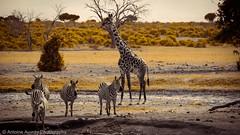 C'est l'happy hour au point d'eau !! Happy hour to the water point !! #kenya #wildlife  #landscape  #zebra #girafe (antoine.auvray) Tags: landscape wildlife kenya zebra girafe