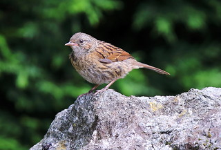 DUNNOCK....youngster....Powys