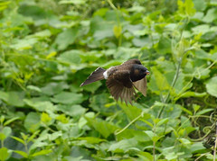 Flying Bulbul (Santiram Karmakar) Tags: nature bird bulbul flying animal