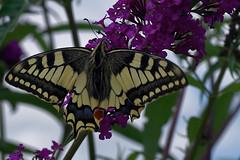 Swallowtail butterfly (jan_2j) Tags: animal belgium butterfly limburg lommel nature pentax art pentaxart