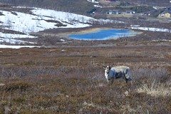 Reindeer (Tuomo Nykänen) Tags: reindeer suomi finland poro