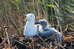 "No Respect  1959 (Dr DAD (Daniel A D'Auria MD)) Tags: ""herringgull"" gulls shorebirds ""seagulls"" bird birds birding nature wildlife animal ""wildlifephotography"" ""naturephotography"" ""birdphotography"" avian ""avianspecies"" ""avianphotography"" ""birdinginthewild"" feathers ""featheredfriends"" ""worldbirds"" ""birdsoftheworld"" flight ""inflight"" colors wings lbi ""longbeachisland"" ""birdsofnewjersey"" ""highisland"" ""july2017"""