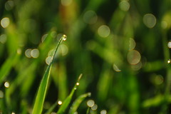 Dew drop (dylan583) Tags: dew grass water backlit telephotocloseup sonya700 tamronspf45670300usd