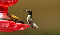 Hummingbird_7148 (Porch Dog) Tags: 2017 garywhittington kentucky nikond750 fx nikkor200500mm hummingbird nature wildlife outdoors birdfeederbackyard