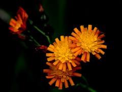 Orange Hawkweed - fox and cubs - Pilosella aurantiaca (Joan's Pics 2012) Tags: orangehawkweed foxandcubs wildflowers bright cheerful colourful yellow orange gardenflowers explore