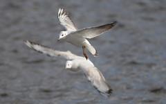 Gaviotas (G. Sánchez) Tags: ppolvoranca aves gaviotas