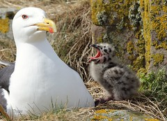 """""""Feed me!""""  ..  Great black backed gull adult with chick. (R thew (Birds & wildlife)) Tags: greatblackbackedgull gulls blackbacked large seagulls seabirds coastal uk european wildbirds youngster chicks chick"""