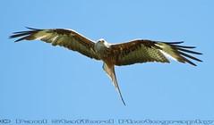 Red Kite (STAFF.PAUL) Tags: redkite wales elanvalley outside thisphotorocks bird birdofprey canon canon7d canonl100400 animalplanet nationalgeographicwildlife worldofanimals