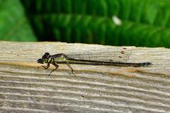 Pacific Forktail (Ischnura cervula) female (R-Gasman) Tags: nature damselfly pacificforktail ischnuracervula female terranova richmond britishcolumbia canada