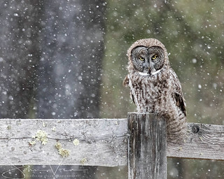 Great Gray Owl in a Snow Storm