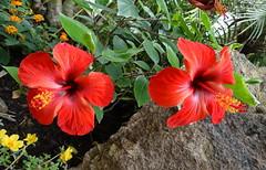 I fiori del karkadè (antonè) Tags: ibisco hibiscus fiore karkadè rosso olmedo sardegna antonè butterflyhouse