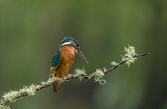 Female Kingfisher ( Alcedo atthis ) (Steven Whitehead) Tags: kingfisher fishing feeding feathers wildlife wild nature canon bird birds canon5dmk4 raining 2017 orange blue 100400mm river water stream woods forest
