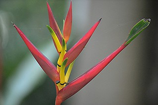Web enshrouded Heliconia in bloom