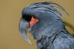 palm cockatoo (pucek) Tags: parrot palm cockatoo palmcockatoo probosciger aterrimus great black goliath goliathcockatoo greatblackcockatoo