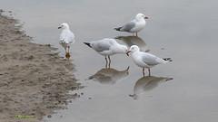 Seagulls (margaretpaul) Tags: seagulls gulls reflections tooradin victoria australia silvergull