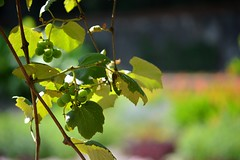 Grapes (NC Mountain Man) Tags: dof grapes leaves biltmoreestate biltmore ncmountainman nikon d3200 phixe vine