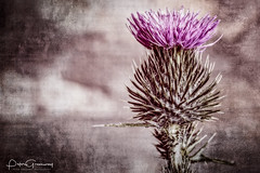Scottish Thistle In Macro ( Creative ) (Peter Greenway) Tags: creative scottishthistle wpg flickr petergreenway macroflowers macro thistle scottish