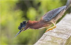 Green Heron Ready to Pounce (billkominsky ) Tags: naturethroughthelens