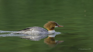 Time to reflect- Common Merganser Style