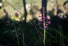 Dipodium punctatum (dustaway) Tags: orchidaceae dipodium dipodiumpunctatum terrestrialorchid saprophyte hyacinthorchid australianplants flowers inflorescence lismorerainforestbotanicgardens lismore northernrivers nsw australia australianorchids pinkflowers raceme