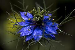 Starblue (Tim Camin) Tags: flower blue macro drops nature garden plant green blume blau makro tropfen natur garten pflanze grün nikon d800 tamron