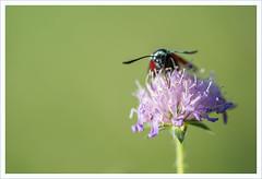 Suzione (Outlaw Pete 65) Tags: macro closeup fiore flower farfalla butterfly natura nature colori colours nikond600 sigma105mm collebeato lombardia italia