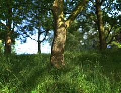 skin of the tree (Amselchen) Tags: tree plants season summer grass light shadow bokehpanorama bokeh blur dof depthoffield sony alpha7 samyang 85mmf14