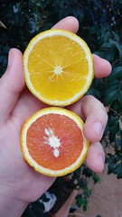 Orange. Citrus Fruit Fruit SLICE Food Human Body Part Human Hand Open Edit Vscocam No Filter Close-up Day Nature Orange Red Green Yelow Healthy Eating EyeEm Best Shots (mugalaxy) Tags: citrusfruit fruit slice food humanbodypart humanhand openedit vscocam nofilter closeup day nature orange red green yelow healthyeating eyeembestshots