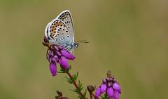 Silver-studded Blue (Plebejus argus) (Bob Eade) Tags: silverstuddedblue westsussex iping heathland heather butterflies butterfly lepidoptera silver blue male macro wildlife nature nikon summer sussex