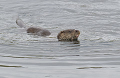 Serendipity (KHR Images) Tags: otter lutralutra wild carnivorous mammal mustelid mustelidae lochaline morvern scottish highlands westernscotland wildlife nature nikon d500 kevinrobson khrimages