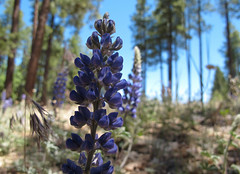 Flowers in the Forest (zoniedude1) Tags: arizona wildflowers forest flora lupine silverylupine lupinusargenteus silverstemlupine flower perennial herb blooming summer flowersintheforest ponderosapineforest blue flowers beauty coconinonationalforest mogollonplateau 6620ftelevation coconinocounty outdoors exploration discovery closeup detail macro outinthewild southwest nature canonpowershotg12 pspx9 zoniedude1 earthnaturelife