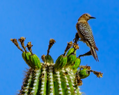 Gila Woodpecker (Carl Cohen_Pics) Tags: apachejunction arizona unitedstates melanerpesuropygialis gilawoodpecker pinalcounty bird southwest saguaro spring canon sigmaapo150500mmf563apodgoshsm