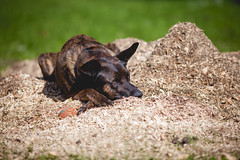 Resting in sawdust (michaelraleigh) Tags: 200mm dutchshepherd f28l serene highquality canoneos5dmarkii dog outdoors secluded canon beautiful infocus minnesota