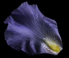 Shapes Textures And Colors In A Bearded Iris Petal (Bill Gracey 21 Million Views) Tags: shapes textures color colorful germanbeardediris purple yellow perspex offcameraflash sidelighting blackbackground homestudio macrolens shadows shadowshapes nature naturalbeauty lakeside yongnuorf603n yn560 softbox