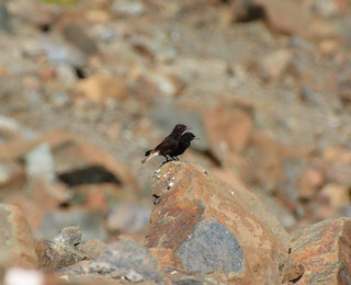 Black Wheatear A397 Ronda Road San Pedro to Ronda