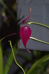 Masdevallia Machu Picchu (douneika) Tags: masdevallia machu picchu orchidea orchidaceae orquidea orchid orchidee