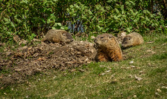 How Much Wood Could A Woodchuck Chuck If A Woodchuck Would Chuck Wood? (skram1v) Tags: woodchucks kids awareness avoidance winnipeg manitoba canada canon tamron burrow may2017