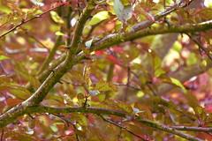 Felsenbirne (erix!) Tags: felsenbirne amelanchier shadbush sarvisberry saskatoon sugarplum shrub busch äste branches