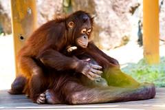 Orangutan's Mother and Child (Kiki and her son Riki) : オランウータンの母子 (Dakiny) Tags: 2017 summer june japan tokyo hino outdoor nature park city street zoo tamazoo creature animal mammal ape orangutan bokeh nikon d750 sigma apo 70200mm f28 ex hsm apo70200mmf28dexhsm sigmaapo70200mmf28dexhsm nikonclubit