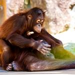 Orangutan's Mother and Child (Kiki and her son Riki) : オランウータンの母子 thumbnail