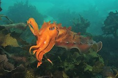 Giant Cuttlefish (sarah.handebeaux) Tags: shelly beach diving scuba sydney manly giant cuttlefish orange tentacles