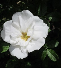 ** Rose sauvage blanche ** (Impatience_1(retour progressif)) Tags: rosesauvageblanche whitewildrose roseblanche whiterose rosesauvage wildrose rose fleur flower m impatience coth supershot fantasticnature alittlebeauty coth5 wonderfulworldofflowers saveearth abigfave sunrays5 églantine dogrose whitedogrose 100commentgroup