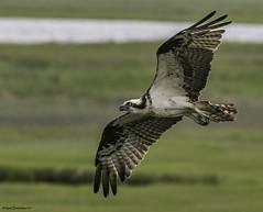 ospreyflt1-3 (lfalterbauer) Tags: osprey northwildwood bokeh flight canon 7dmarkii flickr yahoo nature wildlife bay wetlands avian ornithology