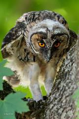 Hibou moyen-duc (juvénile) - Réjection d'une pelote. (sfrancois73) Tags: oiseau faune réjection hiboumoyenduc